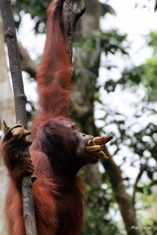 1 Tanjung Puting Borneo podróże z dzieckiem (14)