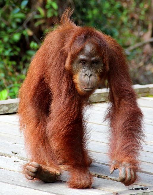 1 Tanjung Puting Borneo podróże z dzieckiem (8)