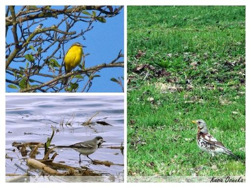 Podlaskie ptaki kolaz 2 (1)
