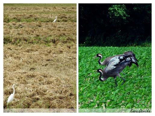 Podlaskie ptaki kolaz 2 (3)