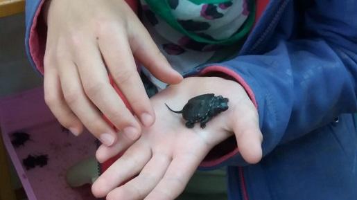 Urszulin - żółwie