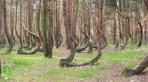 Krzywy Las Nowe Czarnowo opinie atrakcje