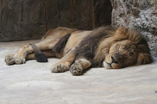 Lwy w Zoo w Gdańsku fot. Facebook ZOO Gdańsk