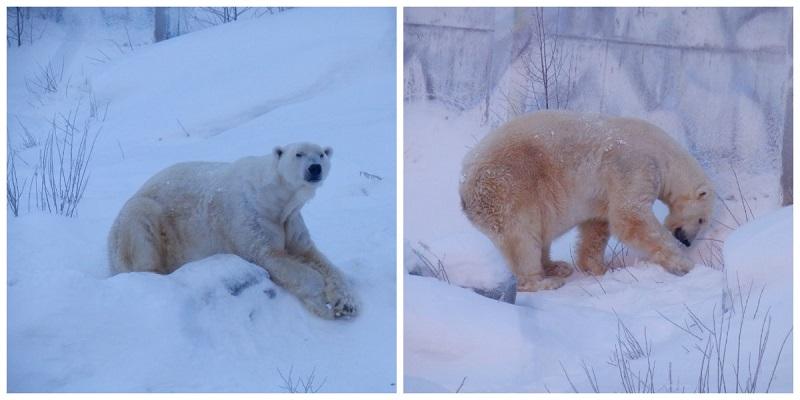 niedźwiedź polarny ranua zoo finlandia