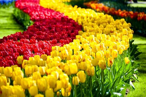ogród tulipanowy Holandia rodzinne atrakcje