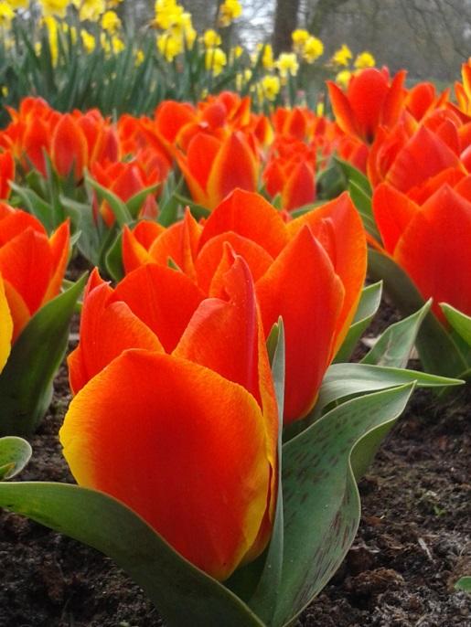 tulipany Holandia atrakcje