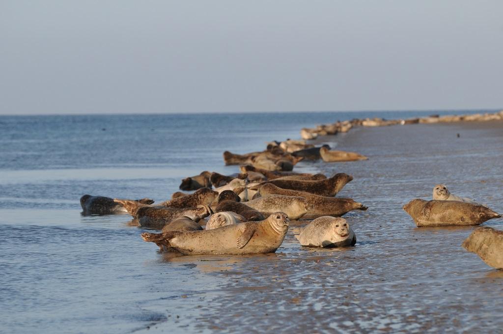 foki Dania plaże Morze Wattowe dojazd gdzie najlepiej zobaczyć odpływ