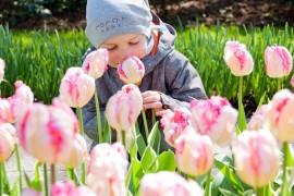 tulipany Holandia Keukenhof opinie atrakcje