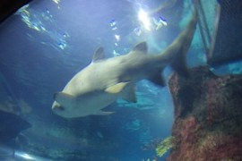 rekiny w oceanarium w Barcelonie