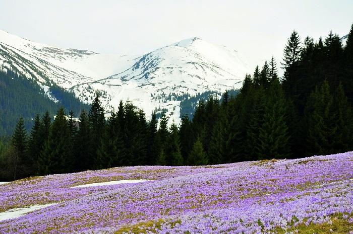 gdzie kwitnące krokusy w tatrach polana kalatówki