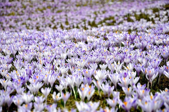 gdzie zobaczyć kwitnące krokusy w górach tatry