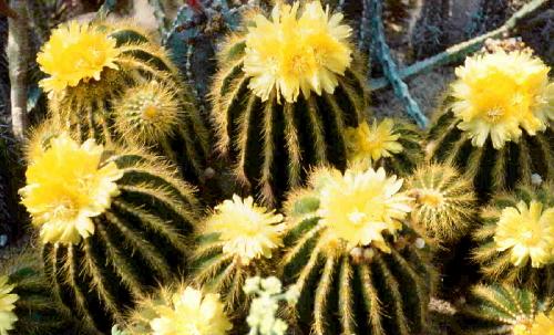 Kaktusy Rumia wystawa opinie