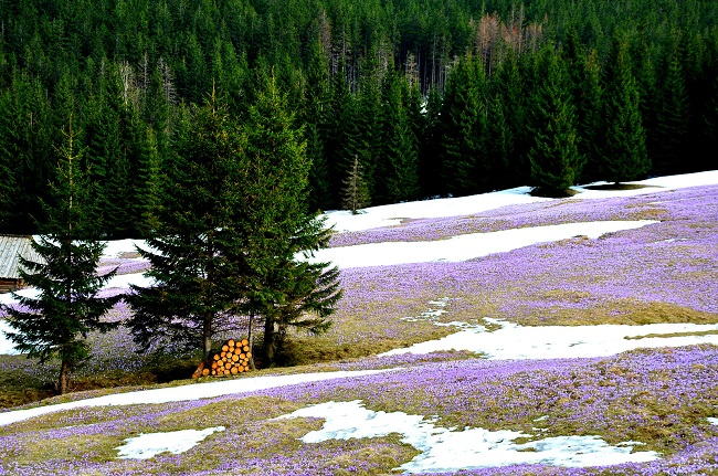 kiedy kwitną krokusy w górach w tatrach opinie