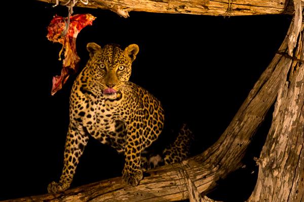 lampart na safari w Kenii - wycieczka z dzieckiem opinie
