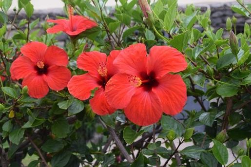 pogoda maj Gran Canaria kwitnący hibiscus