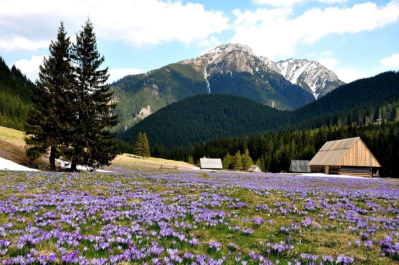 polana chochołowska krokusy kiedy kwitną tatry