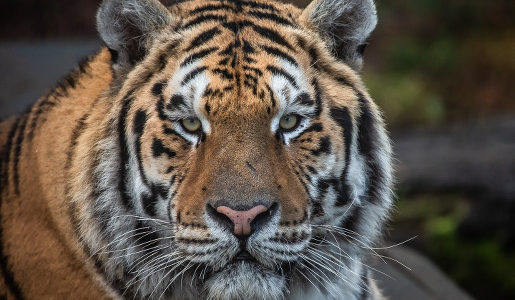 zoo człuchów tygrysy canpol opinie godziny otwarcia głowa