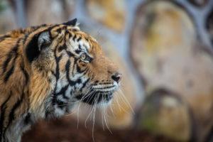 zoo człuchów tygrysy canpol opinie godziny otwarcia