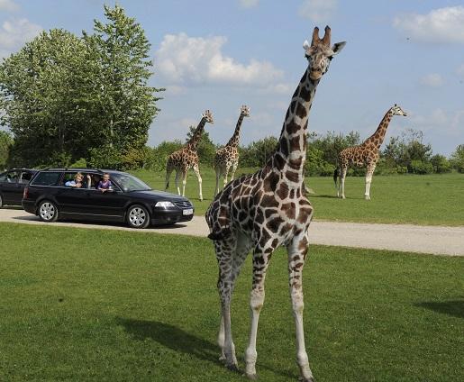 Zoo Safari Givskud Dania opinie
